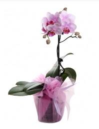 1 dal pembe orkide saksı çiçeği  Mardin kaliteli taze ve ucuz çiçekler