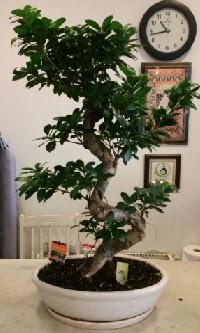 100 cm yüksekliğinde dev bonsai japon ağacı  Mardin İnternetten çiçek siparişi