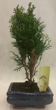 SINIRLI SAYIDA ÜRÜN Selvi Bonsai  Mardin İnternetten çiçek siparişi