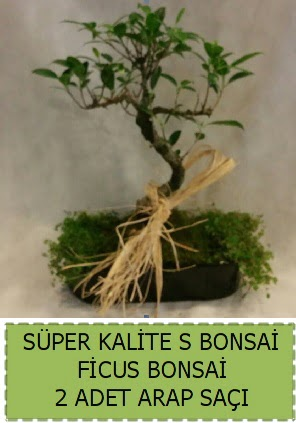 Ficus S Bonsai ve arap saçı  Mardin çiçekçi telefonları