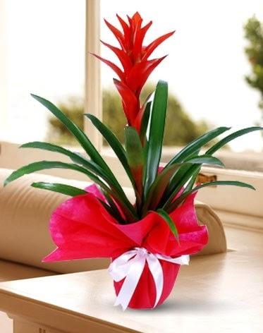 Guzmanya Saksı Çiçeği  Mardin çiçek yolla
