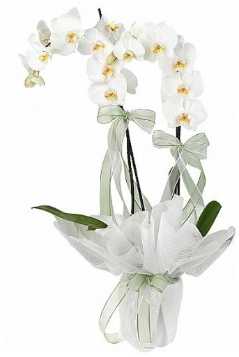 Çift Dallı Beyaz Orkide  Mardin anneler günü çiçek yolla
