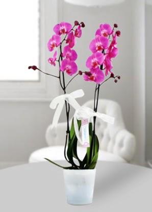 Çift dallı mor orkide  Mardin çiçekçiler