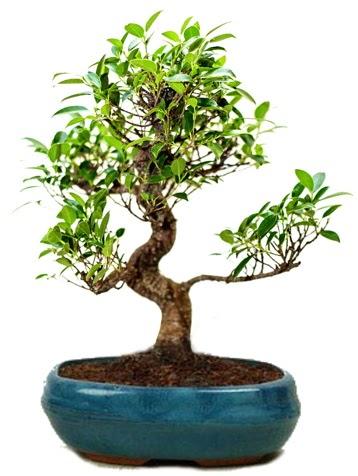 25 cm ile 30 cm aralığında Ficus S bonsai  Mardin çiçek gönderme sitemiz güvenlidir