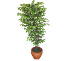 Ficus özel Starlight 1,75 cm   Mardin cicek , cicekci