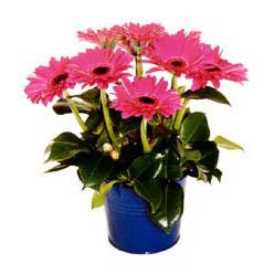 vazo içerisinde gerbera çiçekleri   Mardin online çiçek gönderme sipariş