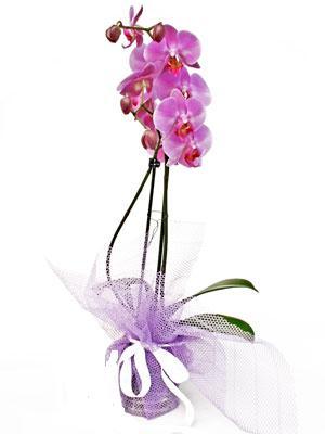 Mardin anneler günü çiçek yolla  Kaliteli ithal saksida orkide