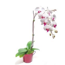 Mardin çiçek gönderme  Saksida orkide