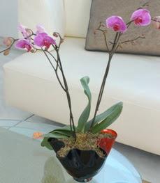 Mardin çiçekçi mağazası  tek dal ikili orkide saksi çiçegi