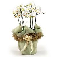 Mardin çiçek siparişi sitesi  3 dal orkide , saksi çiçegi , 3 kök orkide