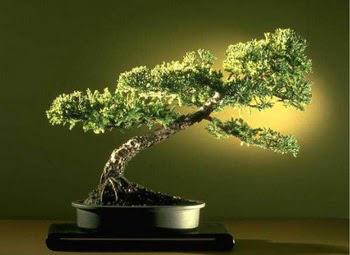 ithal bonsai saksi çiçegi  Mardin çiçekçi mağazası