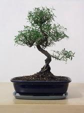 ithal bonsai saksi çiçegi  Mardin çiçek siparişi vermek