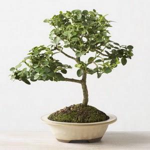 ithal bonsai saksi çiçegi  Mardin çiçek online çiçek siparişi