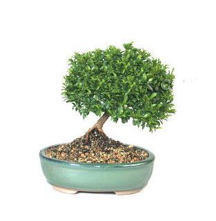 ithal bonsai saksi çiçegi  Mardin cicekciler , cicek siparisi