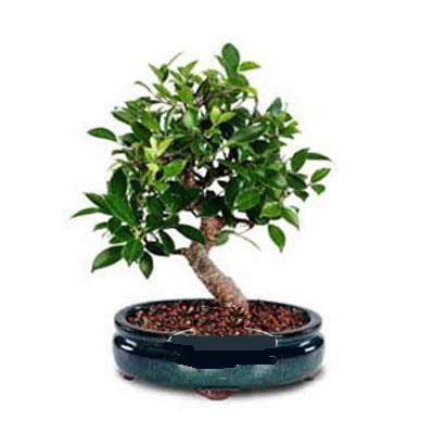 ithal bonsai saksi çiçegi  Mardin çiçek siparişi sitesi