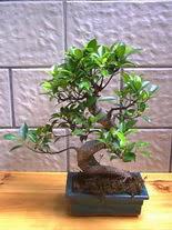 ithal bonsai saksi çiçegi  Mardin hediye sevgilime hediye çiçek
