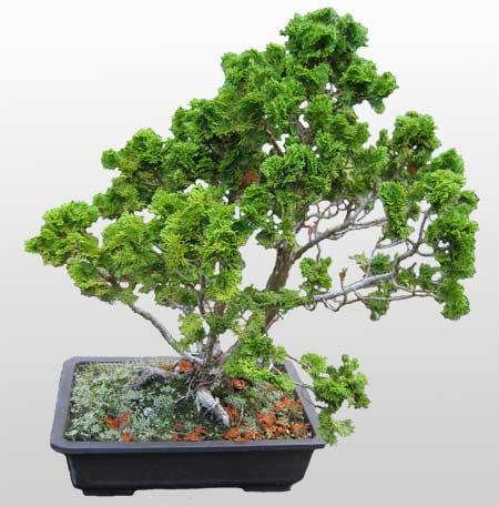 ithal bonsai saksi çiçegi  Mardin İnternetten çiçek siparişi