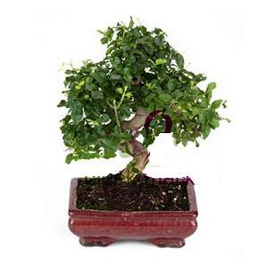 ithal bonsai saksi çiçegi  Mardin anneler günü çiçek yolla