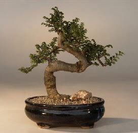 ithal bonsai saksi çiçegi  Mardin 14 şubat sevgililer günü çiçek