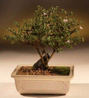 ithal bonsai saksi çiçegi  Mardin çiçek mağazası , çiçekçi adresleri
