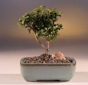 Mardin çiçek yolla  ithal bonsai saksi çiçegi  Mardin internetten çiçek satışı