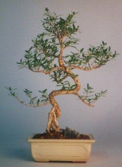 Mardin çiçek satışı  ithal bonsai saksi çiçegi  Mardin çiçek siparişi vermek