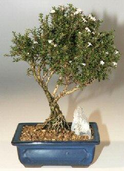 Mardin çiçek , çiçekçi , çiçekçilik  ithal bonsai saksi çiçegi  Mardin online çiçek gönderme sipariş