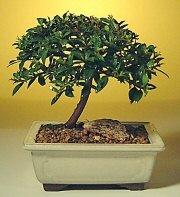 Mardin ucuz çiçek gönder  ithal bonsai saksi çiçegi  Mardin cicek , cicekci