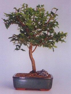 Mardin ucuz çiçek gönder  ithal bonsai saksi çiçegi  Mardin anneler günü çiçek yolla