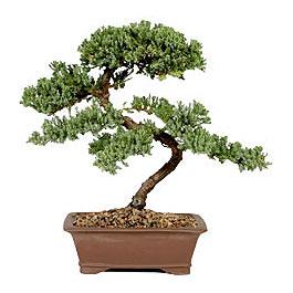 ithal bonsai saksi çiçegi  Mardin çiçek gönderme sitemiz güvenlidir