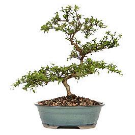 Mardin İnternetten çiçek siparişi  ithal bonsai saksi çiçegi  Mardin çiçek gönderme sitemiz güvenlidir