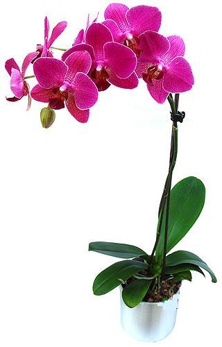 Mardin çiçekçi mağazası  saksi orkide çiçegi