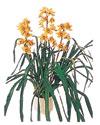 Mardin çiçekçiler  Orchiede ithal büyük boy saksi