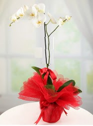 1 dal beyaz orkide saksı çiçeği  Mardin yurtiçi ve yurtdışı çiçek siparişi