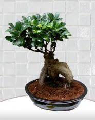 saksı çiçeği japon ağacı bonsai  Mardin kaliteli taze ve ucuz çiçekler