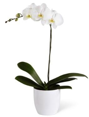 1 dallı beyaz orkide  Mardin 14 şubat sevgililer günü çiçek