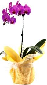 Mardin çiçek siparişi sitesi  Tek dal mor orkide saksı çiçeği