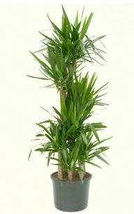 7 li yucca saksı bitkisi  Mardin çiçek servisi , çiçekçi adresleri