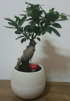 Bonsai japon ağacı saksı çiçeği  Mardin çiçek gönderme sitemiz güvenlidir
