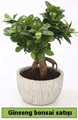 Ginseng bonsai japon ağacı satışı  Mardin çiçekçi telefonları