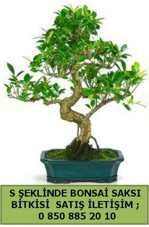 İthal S şeklinde dal eğriliği bonsai satışı  Mardin çiçek gönderme