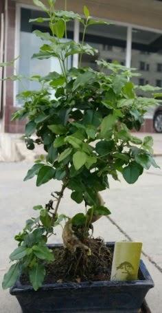 Bonsai japon ağacı saksı bitkisi  Mardin çiçek siparişi vermek