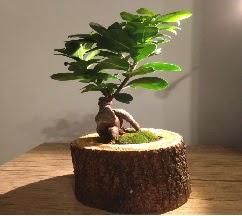 Doğal kütükte Bonsai japon ağacı satışı  Mardin internetten çiçek satışı