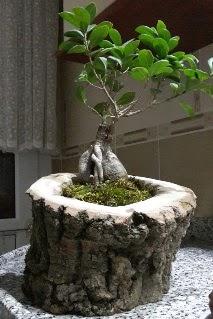 Ahşap kütük içerisinde ginseng bonsai  Mardin internetten çiçek siparişi