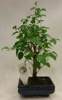 Minyatür bonsai japon ağacı satışı  Mardin çiçekçi telefonları