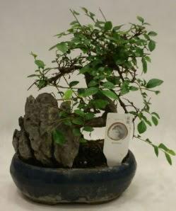 İthal 1.ci kalite bonsai japon ağacı  Mardin çiçek satışı