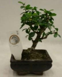 Küçük minyatür bonsai japon ağacı  Mardin çiçek gönderme