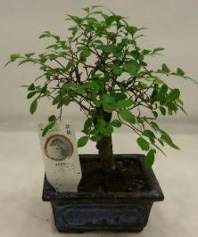 Minyatür ithal japon ağacı bonsai bitkisi  Mardin çiçek satışı