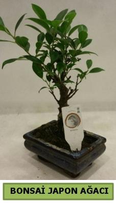 Bonsai japon ağacı saksı bitkisi  Mardin çiçek servisi , çiçekçi adresleri