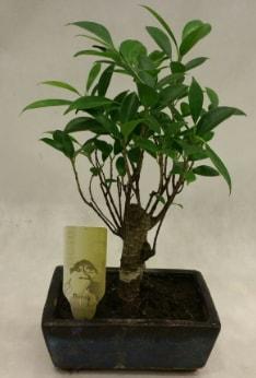 Japon ağacı bonsai bitkisi satışı  Mardin çiçekçi telefonları